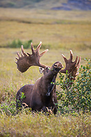 Large bull moose in velvet antlers feeds on the summer tundra vegetation of willows and alders in Denali National Park, Interior, Alaska.