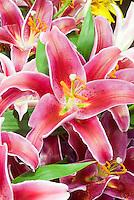 Lily San Pedro oriental pink with white picotee edges