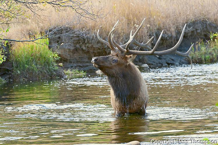 Bull Elk in Water, Rocky Mountain National Park, Colorado