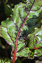 An infestation of aphids on betroot leaves, mid June.