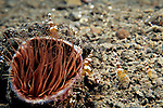 Milne Bay, Papua New Guinea; Tube Anemone with Anemone Shrimp (Thor amboinensis), to 2 cm (3/4 in.) , Copyright © Matthew Meier, matthewmeierphoto.com All Rights Reserved