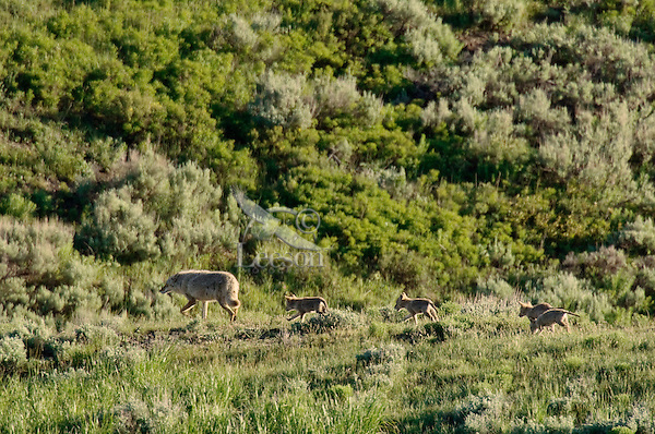 Wild Coyotes (Canis latrans)--adult with young pups.  Western U.S., June.