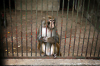 CHINA. Hubei Province. Wuhan. A monkey in an enclosure in Wuhan zoo. In many of China's 'second-tier' cities, away from the modern zoos in the megacities of Beijing and Shanghai, hide a plethora of smaller unknown zoos. In these zoos, what can only be described as animal abuse is subtly taking place in the form of deprivation of light, space, sanitation and social contact with other animals. Living in awful conditions, these animals spend there days entertaining tourists who seem oblivious to the animals' plight and squalid existence. 2008.