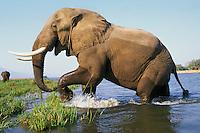 Large african elephant (Loxodonta africana) bull, Zambezi River,  Mana Pools National Park, Zimbabwe.