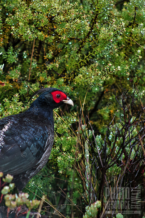 A striking red and black male kalij pheasant, Volcano, Big Island; the kalij pheasant is one of 12 game birds that were introduced into Hawai'i in 1962. One of the best places to see them is in Volcano, and can be spotted around the roads just before sunrise and sunset.