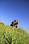 Israel, Sharon region, Iris atropurpurea by Nahal Poleg