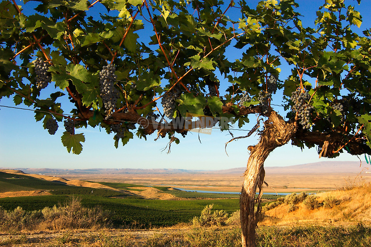 Cabernet Sauvignon grapes and vine, with vineyards, Columbia River and Rattlesnake Hills in distance; Sagemoor Vineyards, Columbia Valley, Washington. .#D0309124