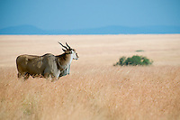 The eland is the world's largest antelope.  The social  behavior  of eland is somewhat different from that of other antelopes. Usually older, dominant males are solitary, while other adult males form small groups of three or four. ..Adult females associate in much larger groups, whose size and membership vary from day to day. Several hundred eland sometimes gather, and males may spend a few hours or even weeks with a female group before becoming solitary again.