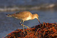 Adult willet in winter plumage probes a pile of seaweed