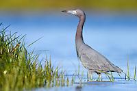Little Blue Heron (Egretta caerulea). Fort Desoto, Fort Desoto State Park, Florida. March.