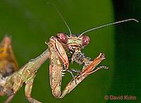 "0408-07mm  Budwing Mantis - Parasphendale agrionina ""Nymph"" © David /Dwight Kuhn Photography"