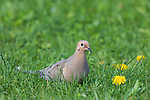 Mourning dove in northern Wisconsin.
