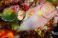 Tunicate & Salp