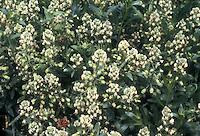 Reseda odorata in flower Mignonette (GR635)