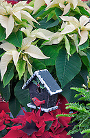Pointsettias and bird house.