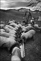 Europe/France/Aquitaine/64/Pyrénées-Atlantiques/Pays Basque/ Saint-Martin-d'Arberoue: Ferme Agerria  de Bernadette et Jean-Claude Pochelu<br /> Elevage porcin: Le porc basque ou encore Pie Noir du Pays Basque, ou Euskal Xerria en basque - Jean-Claude Pochelu nourrit ses animaux