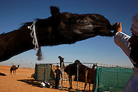 Mansori family has many prize winning camels in their compound, some worth up to 1 million USD. <br /> Their camels are too precious to hazard the risk of truck transport even for this important beauty contest.<br /> Females camels is gentle, sweet and has soft lips.