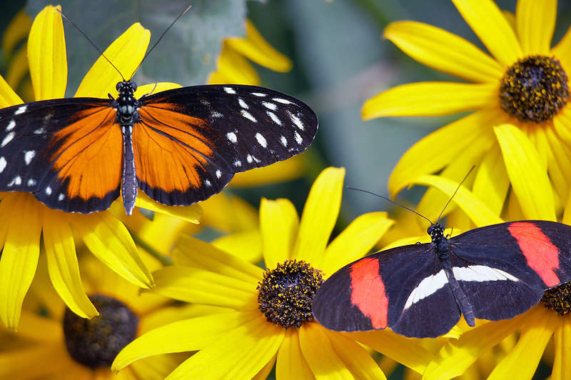 Golden helicon (Heliconius hecale) and  Postman butterfly (Heliconius erato) on Black Eyed Susan flower. Portland Oregon Zoo