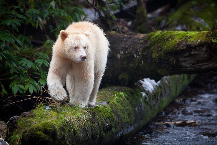 """Kermode """"Spirit"""" Bear walking down a moss-covered log"""