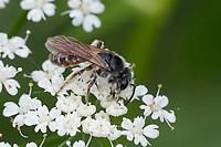 Rotbauch-Sandbiene, Rotbauchsandbiene, Rotbäuchlein, Sandbiene, Weibchen beim Blütenbesuch auf Giersch, Andrena ventralis,  mining bee, female, Sandbienen,  mining bees