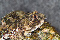 Seeskorpion, See-Skorpion, Myoxocephalus scorpius, Cottus scorpius, Father Lasher, shorthorn sculpin, bull rout, bull-rout, short-spined seascorpion