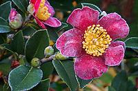Frosty 'Yuletide' flower, red Camellia sasanqua December in California garden