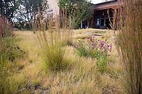 Little Bluestem (Schizachyrium scoparium) accent grasses and New Mexico wildflowers Agastache and Ratibida in Buffalo grass (Buchloe dactyloides) backyard drought tolerant lawn meadow garden, Wiste garden design by Judith Phillips