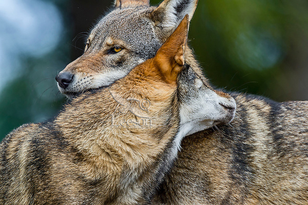 Red Wolf (Canis lupus rufus) dominance behavior.  Highly Endangered Species.  Found primarily in the Southeastern United States.  This photo taken at one of several captive breeding facilities for Red Wolves.