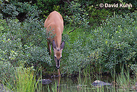 0623-1005  Northern (Woodland) White-tailed Deer, Odocoileus virginianus borealis  © David Kuhn/Dwight Kuhn Photography