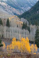 Gray and golden aspens, Lead King Basin, Colorado.