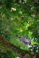 A Yellow-crowned night-heron (Nyctanassa violacea) Manuel Antonio National Park, Manuel Antonio, Costa Rica