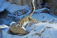 Snow Leopard (Panthera uncia) or (Uncia uncia)--uses long tail for balance when running or jumping.