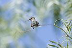 Anna's Hummingbird.Calypte anna.Stevenson Ranch, Ca. April 22, 2008. Fitzroy Barrett