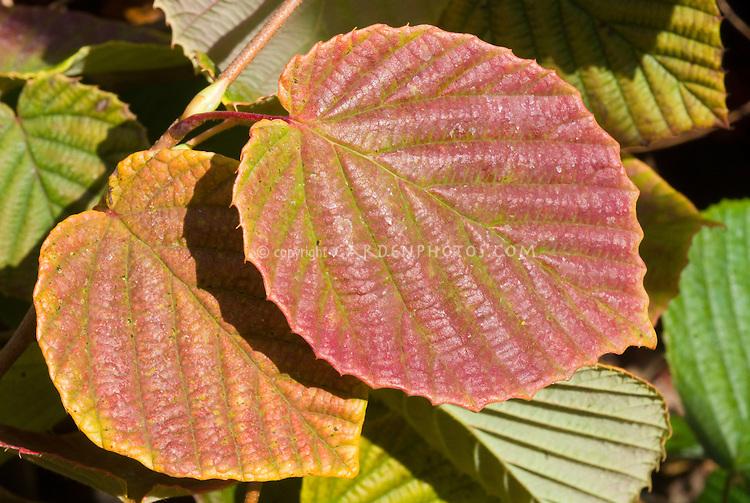 Corylopsis spicata 'Aurea' fall foliage, Winter Hazel