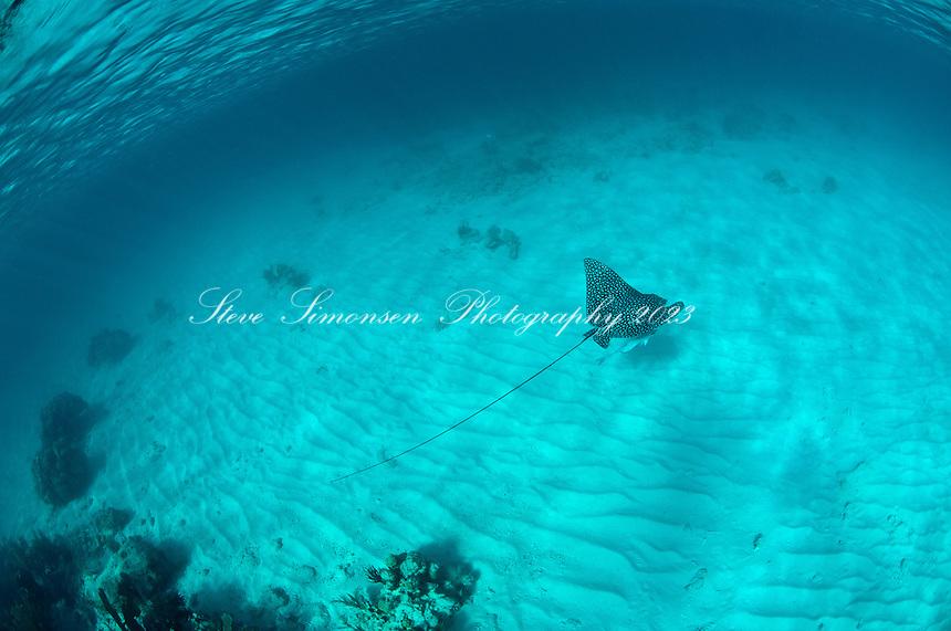 Spotted Eagle Ray.Trunk Bay Underwater Snorkel Trail.St John, US Virgin Islands