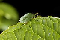 Southern Green Stink Bug (Nezara viridula) camouflaged on a green leaf.