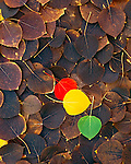 Transition of fall colors, collage of aspen leaves..Eastern Sierra, California