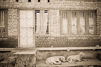 Housefront with two sheep laying on stoop, Srinagar, Kashmir, India.