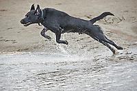 Black Labrador dog jumping.....Copyright..John Eveson, Dinkling Green Farm, Whitewell, Clitheroe, Lancashire. BB7 3BN.01995 61280. 07973 482705.j.r.eveson@btinternet.com.www.johneveson.com