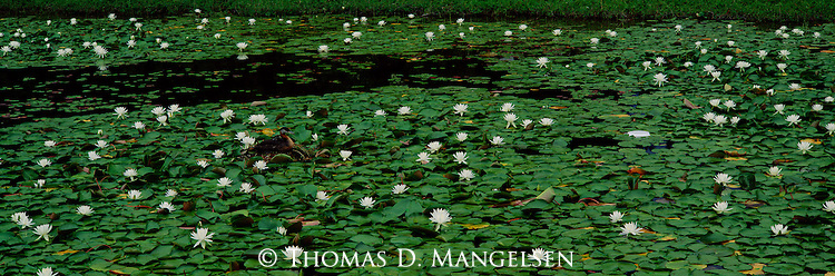 A female red-necked grebe finds sanctuary for her young, paddling and feeding among the cover of water lilies at Seeley Lake in Montana.