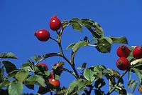Bacche di rosa canina. Berries of Dog Rose.....