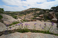 Giant Spiderwort, (Tradescantia gigantea), Enchanted Rock State Natural Area, Hill Country, Central Texas, USA