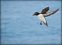 Razorbill taking off in flight with wings up
