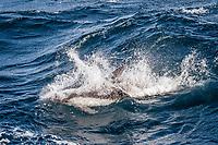 Peale's dolphin, Lagenorhynchus australis, adult, in rough seas, New Island Nature Reserve, Falkland Islands, South Atlantic Ocean