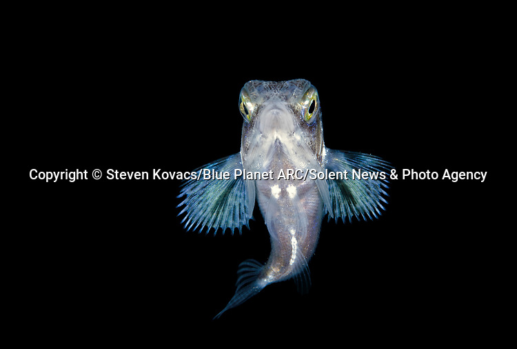 """Pictured:  A juvenile Flying Gurnard.<br /> <br /> IS IT A BIRD? A PLANE? NO, IT'S DEEP SEA CREATURES - FLYING THROUGH THE SEA.  Unusual species from the darkest corners of the ocean look like they can fly as they glow in the dark.  These spectacular creatures - including squid, octopus and flying fish - light up the blackness of the sea around them off the coast of Palm Beach in Florida, USA.<br /> <br /> Photographer Steven Kovacs said: """"Blackwater photography is difficult and takes some getting used to. Basically we go out at night into deep water and jump in. We then drift along and see what shows up out of the darkness.   SEE OUR COPY FOR DETAILS.<br /> <br /> Please byline: Steven Kovacs/Blue Planet ARC/Solent News<br /> <br /> © Steven Kovacs/Blue Planet ARC/Solent News & Photo Agency<br /> UK +44 (0) 2380 458800"""
