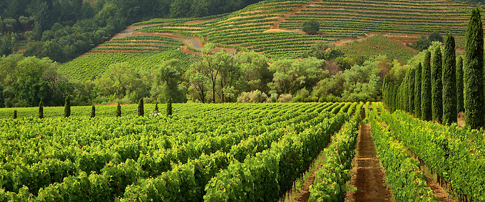 Vineyards of wine country in the early morning light.