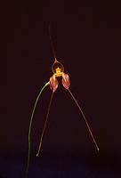 Masdevallia alexanderi orchid species