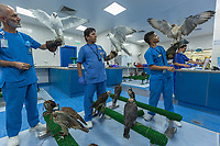 "United Arab Emirates (UAE). Abu Dhabi Falcon Hospital. Nurses working as veterinarian staff hold on gloves various falcons. The hospital is considered the leading center in the world for falcon medical care. It is equipped with everything a hospital requires for treating humans, except that the patients have wings. Falcons are birds of prey in the genus Falco, which includes about 40 species. Adult falcons have thin, tapered wings, which enable them to fly at high speed and change direction rapidly. Additionally, they have keen eyesight for detecting food at a distance or during flight, strong feet equipped with talons for grasping or killing prey, and powerful, curved beaks for tearing flesh. Falcons kill with their beaks, using a ""tooth"" on the side of their beaks. The United Arab Emirates (UAE) is a country in Western Asia at the northeast end of the Arabian Peninsula. 19.02.2020  © 2020 Didier Ruef"