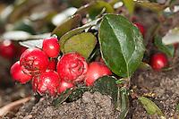 Niedere Scheinbeere, Niederliegende Scheinbeere, Rebhuhnbeere, Rebhuhn-Beere, Wintergrün, Frucht, Früchte, Gaultheria procumbens, eastern teaberry, checkerberry, boxberry, American wintergreen