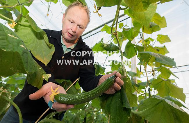 Huissen, 260117 -  Foto Ruben Meijerink / APA FOTO<br /> Jan Aaldering, eigenaar van Jakom inspecteerd de komkommers in zijn  kas. De eerste van het jaat zijn stilaan al weer klaar voor de nieuwe oogst. Volgende week gaan de onderste rij van de kokommers er al af. Eind november zijn deze komkommers geplant, in november zijn ze al gezaaid. De Galibier komkommer heeft een goede kwantiteit en goede kwaliteit, in totaal heeft Aaldering 85000 planten  verdeeld over 56000 m2. <br /> Meer info: Jan Aaldering  0622204303 of 0263250088. Huissen, 260117 -  Foto Ruben Meijerink / APA FOTO<br /> Jan Aaldering, eigenaar van Jakom inspecteerd de komkommers in zijn  kas. De eerste van het jaat zijn stilaan al weer klaar voor de nieuwe oogst. Volgende week gaan de onderste rij van de kokommers er al af. Eind november zijn deze komkommers geplant, in november zijn ze al gezaaid. De Galibier komkommer heeft een goede kwantiteit en goede kwaliteit, in totaal heeft Aaldering 85000 planten  verdeeld over 56000 m2.